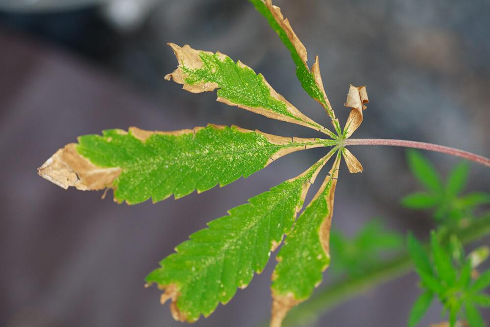 Unhealthy Cannabis Leaves