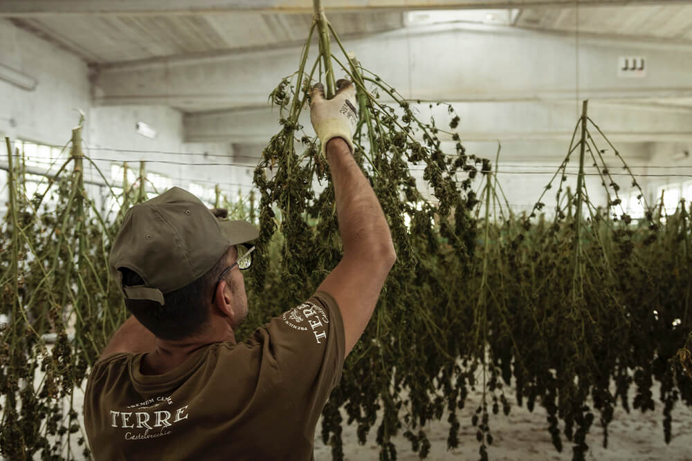 Hang Drying Cannabis Plants