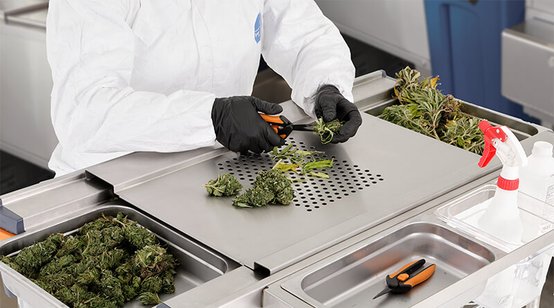 Trimming Cannabis