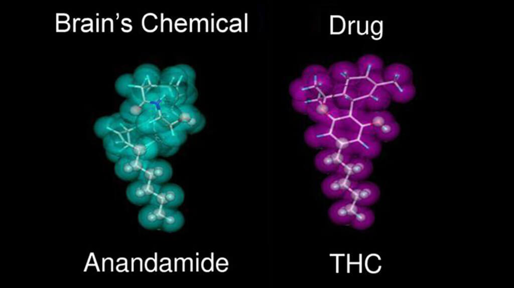 Anandamide and THC