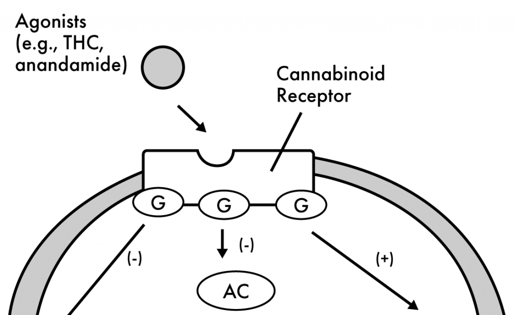 CB1 Receptor