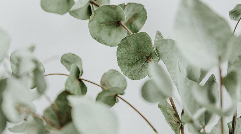 Eucalyptus oil contains terpineol