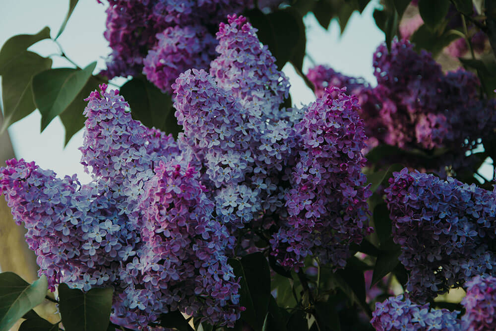 Lilac plants contain Terpineol